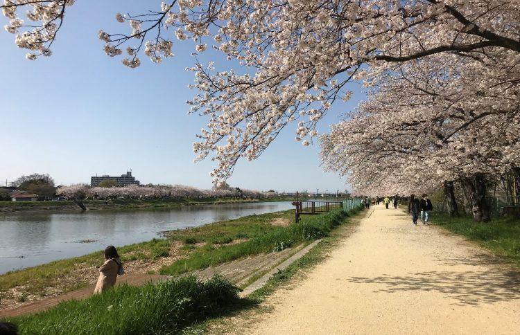 2019年4月6日 昨年の私の住んでいる近くの川の桜並木です。